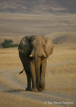 Elephant walking on a road in Namibia
