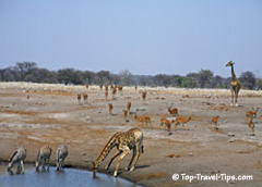 Zebras and Girafes drinking from a water hole in Namibia